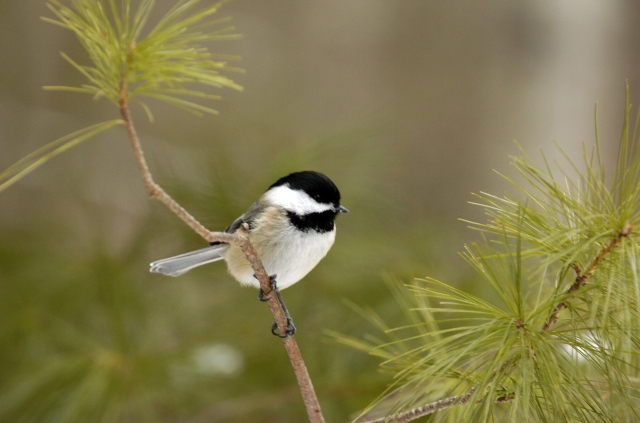 A Black-Capped Chickadee, Faithful Companion of Winter Hikers
