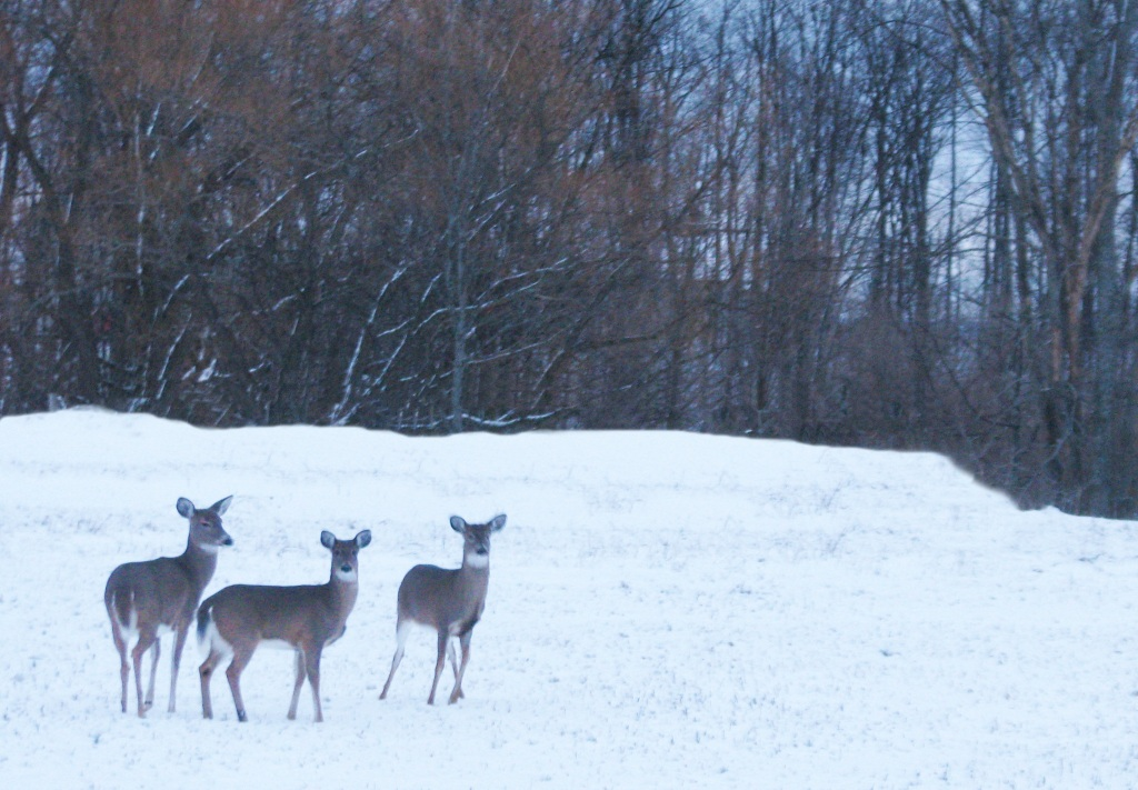 Near Mapleton, a group of deer on Christmas Eve