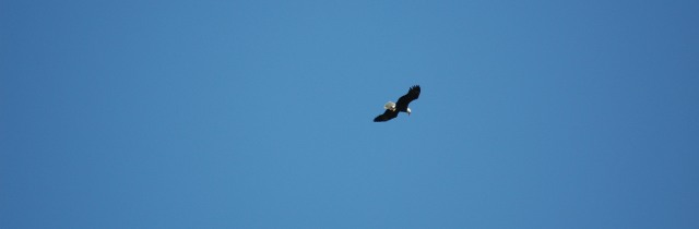 Bud the eagle soars over the harbor again...