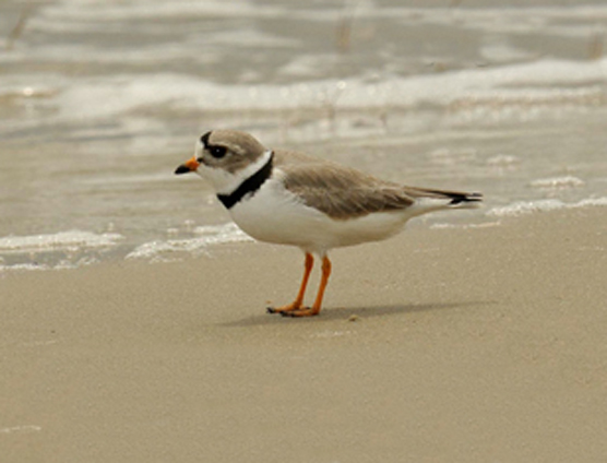 A piping plover at Sleeping Bear Dunes