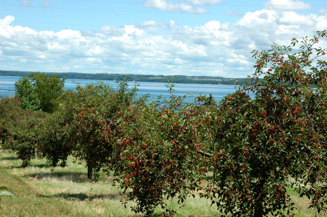 Ripening cherries above Grand Traverse Bay